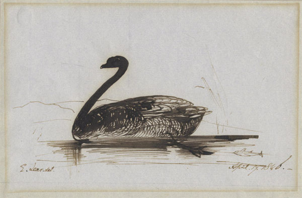 el_black-swan-s